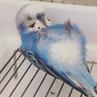 """Hiromi on Instagram 新年1発目のコロン💤ぽぴです🐥💕 「今年もよろしく…むにゃむにゃ🐥😪」 今日のぽぴ セキセイインコ インコスタグラム parakeets budgies 人間のように寝る 仰向け 今年もたくさん可愛がってね"""""""