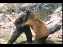 Горилла против Медведя Gorilla vs Bear