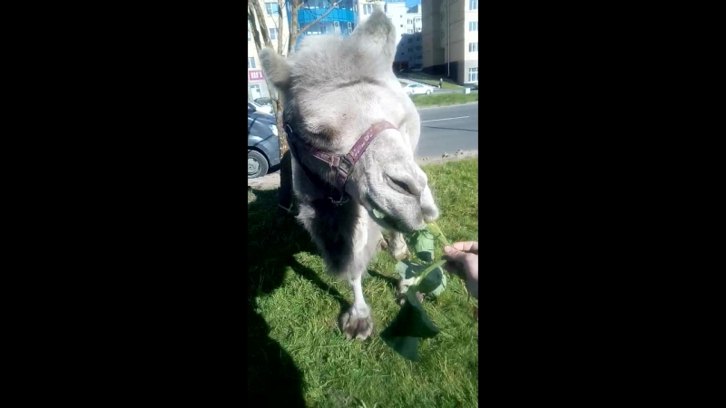 А теперь Рамо кормит верблюда