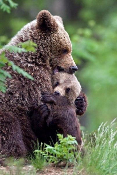 С виду медведь неуклюж, но проворен и дюж.