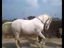 Лошади танцует