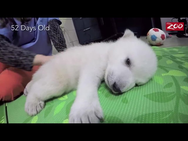 Baby Polar Bear Nap Time