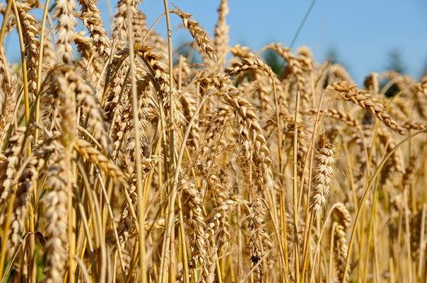 Rusya Buğdayı Alıp İşleyen Türk İhracatçılar Ciddi Ekonomik Zararlara Uğrayacak