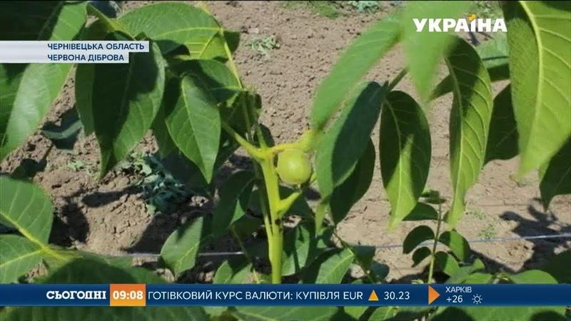 Чотирнадцять сортів горіхів на 10 гектарах вирощує мешканець Буковини