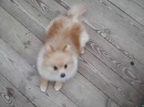 FOR SALE pomeranian male Hammer Power Gloris Iz Knyaginino 7 months