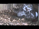 Iris Feeds Her Owlets and Gives a Good View