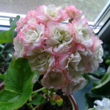 Цветы у Ликки 6-6DDlbIVfs