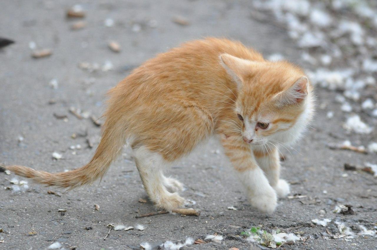 Чумка у кошек 22 фотография
