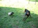 Duck Attacks Doberman!!