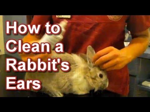 How to Clean a Rabbits Ears - Tai Wai Small Animal Exotic Veterinary Hospital