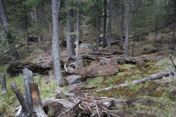Обалденные корни деревьев.