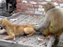 Эпичный бой - собака против обезьяны!