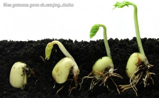 Дачник-дачнику. Про семена. Отбор семян. Опустите семена в трехпроцентный раствор поваренной соли (30-40 г на 1 л воды), перемешайте, и подержите в нем минут семь. Полновесные семена опустятся