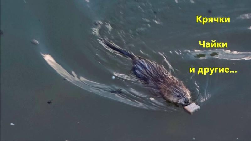 Чарующая красота природы Река Химка Тушино Утки,бобры и другие 2015 2018г