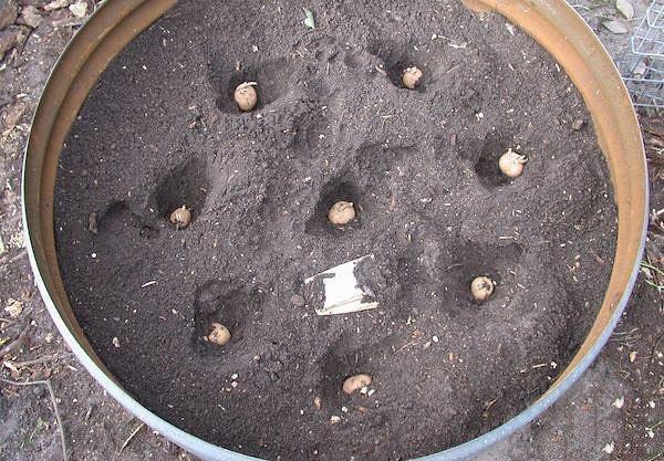 Картофель в контейнере экономия места , эффект! К каким только хитростям не приходится прибегать огородникам для увеличения урожая картофеля на малых площадях своих садово-огородных