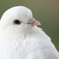 голубка скачать торрент