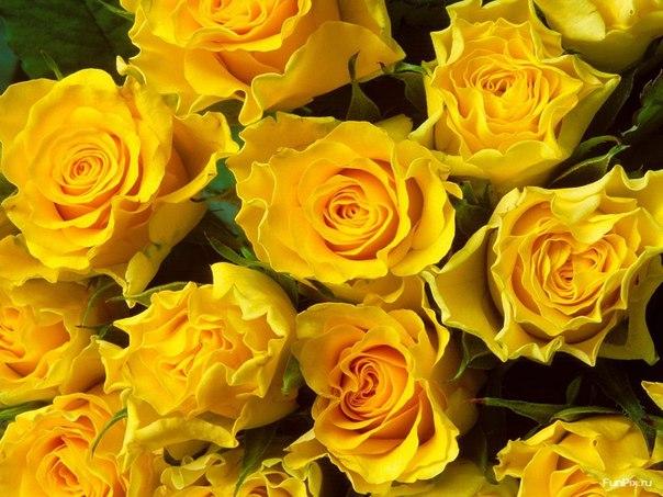 Обои цветок гербер желтый картинки