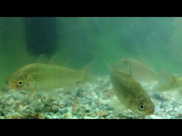 Как спят рыбы Спящая рыба карась! Sleeping fish!