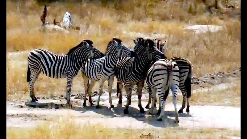 Зебры Нежность в чёрно-белую полоску Zebras Tenderness is striped in black and white Africa :) 20.05.2018