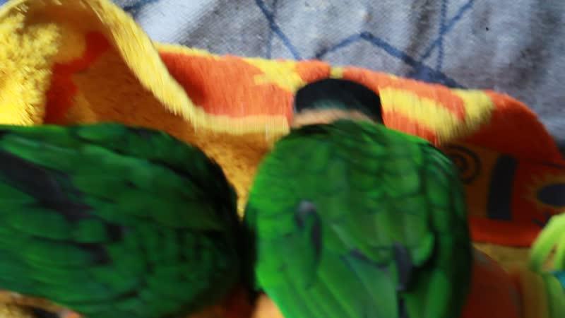 Птенцы черноголового каика