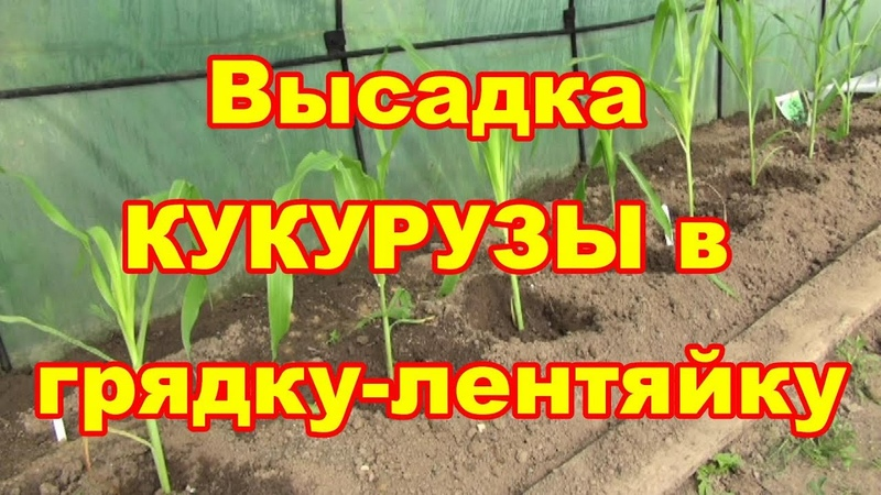 Высаживаем правильно кукурузу в грядку лентяйку
