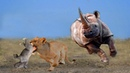 Mother Rhino Brave attack Two Lion to save Baby, Lion lucky Escape, Rhino vs Elephant