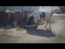 Мусорная коровы балткосы
