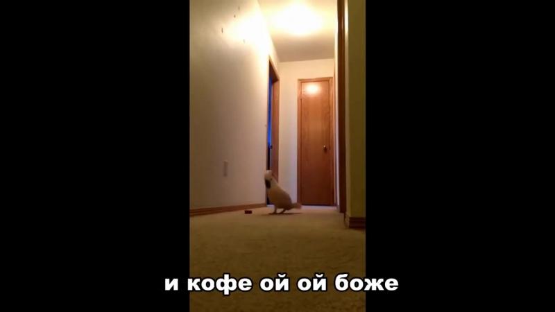 Голодный попугай бегает по квартире