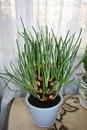 Лёгкий способ вырастить зелёный лук на подоконнике