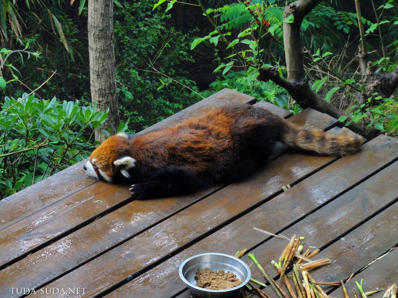 Красная панда Чэнду