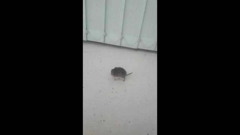 мышь в столовой🤐