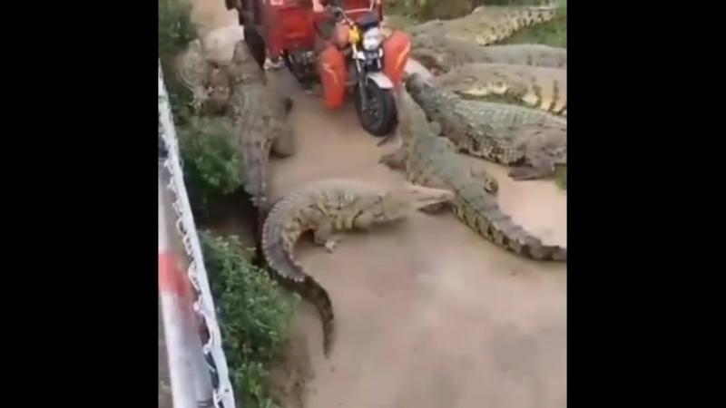 Как правильно крокодилов кормить