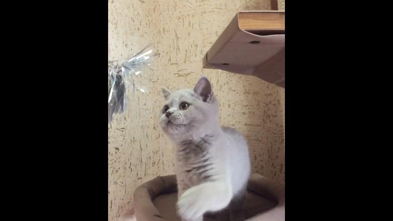 Бублик питомник doctorandfluffyarmy_cattery Волгоград