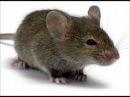 Мышь и крыса, Басня Крылова
