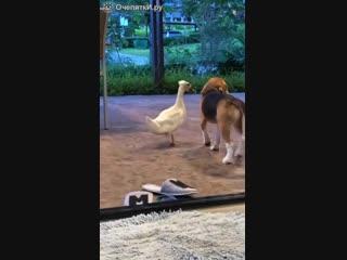 Объятия гуся и собаки