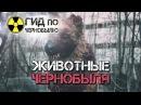 Животные Чернобыля. Природа запретной зоны.