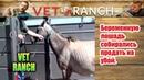 Беременную лошадь собирались продать на убой | Vet Ranch на русском | Pregnant Horse Rescued