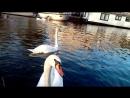 знакомство с лебедем в Гааге
