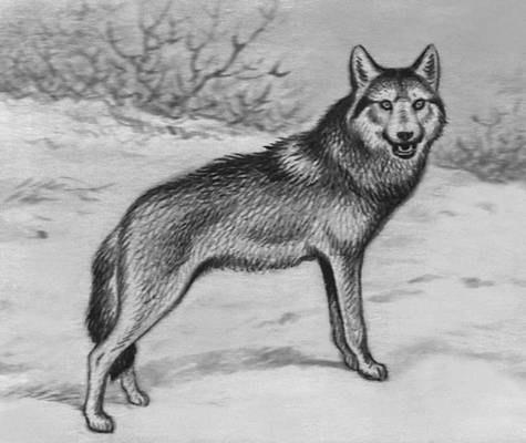 волк рисунок: