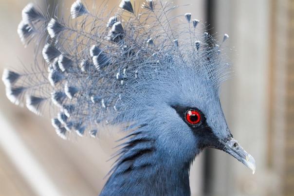 Веероносный венценосный голубь  настоящая супермодель в мире голубей
