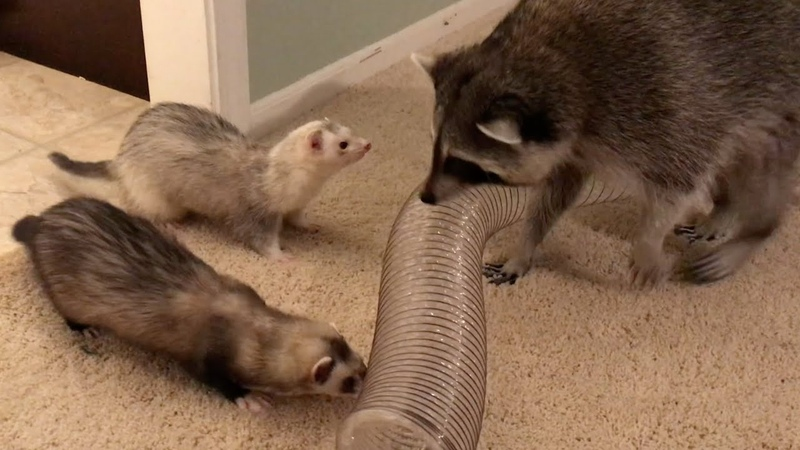 Raccoon and Ferret Playdate!