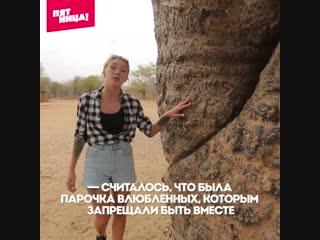 Ивлеева рассказывает о влюбленных баобабах на Мадагаскаре