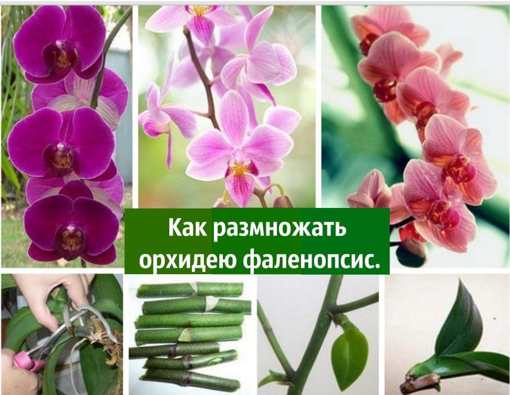 Как правильно размножить орхидею фаленопсис в домашних условиях видео - Sky Wander