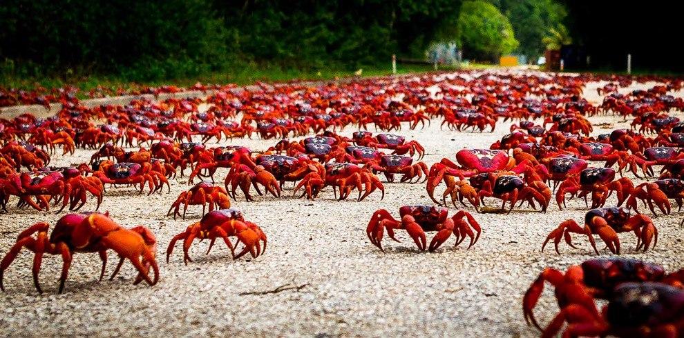 Сухов закончил миграция красных крабов в австралии можно посчитать сложившимся