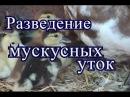Разведение мускусных уток.01.07.2016 г.