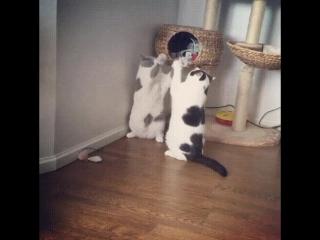 Мощная драка котов! Ваще жесть! )) 18+