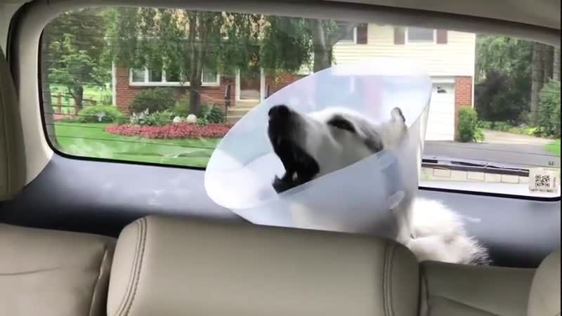 Pup trying to howl after surgery