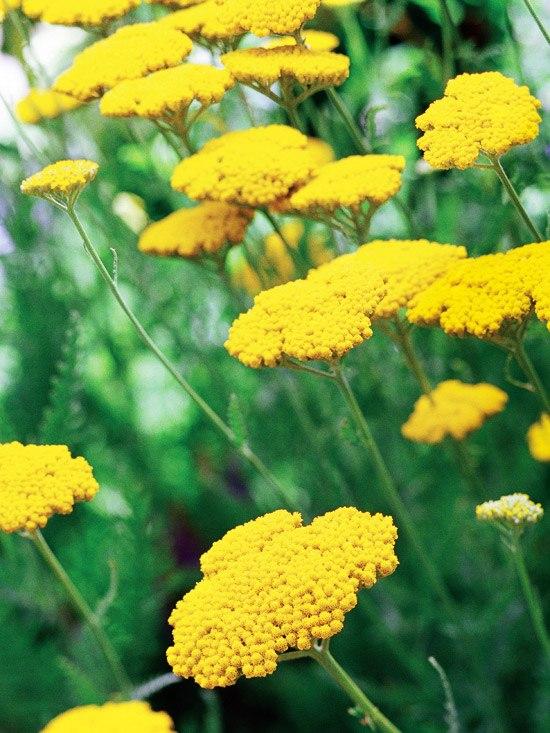 Об особенностях и правилах посадки семян под зиму-тысячелистник