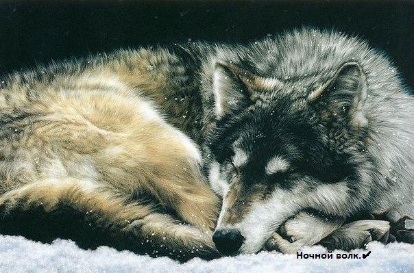 Ночной волк.|Nighteyes.