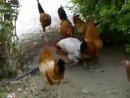 Петухи насилуют курицу